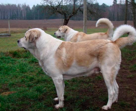 собаки породы Картули нагази