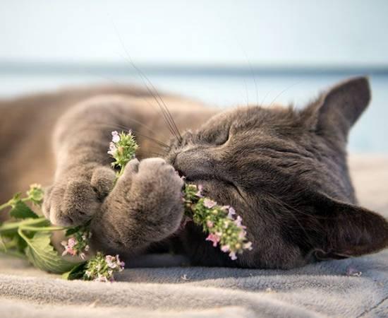 Кошка и кошачья мята