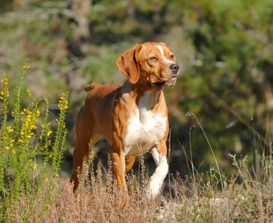 собака породы Португальский бракк