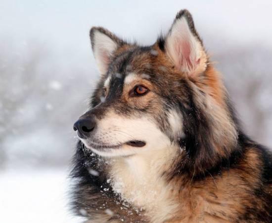 Утонаган - порода собак