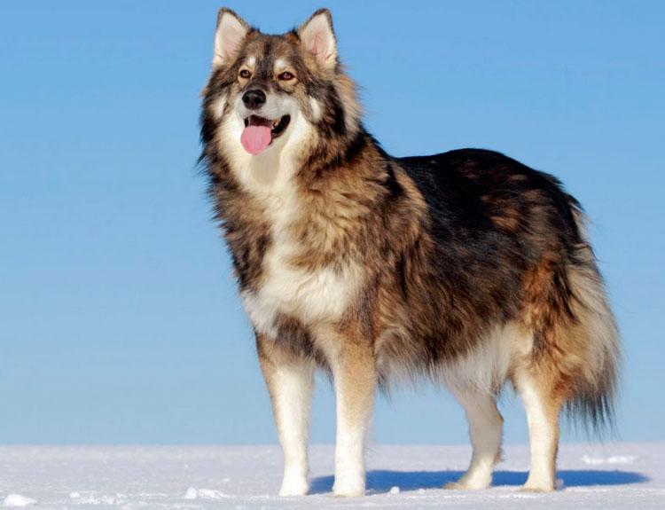 волчья собака Утонаган
