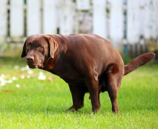 Черный кал у собаки