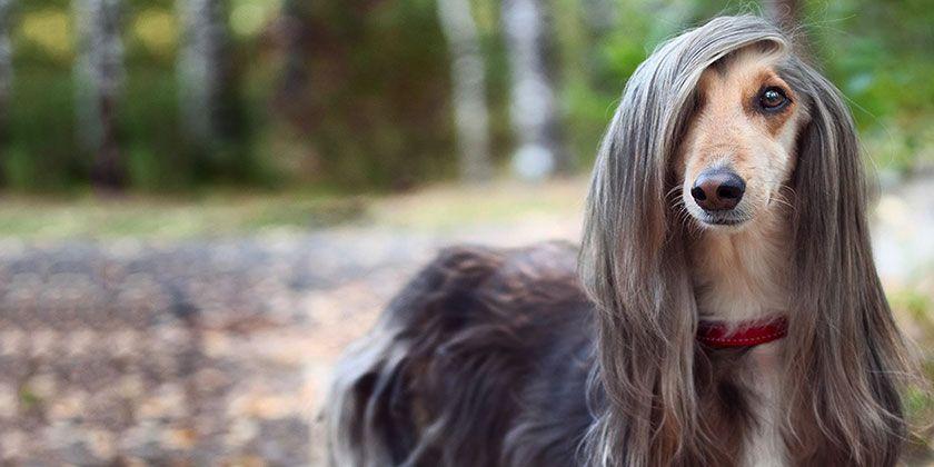 Собака с красивой шерстью