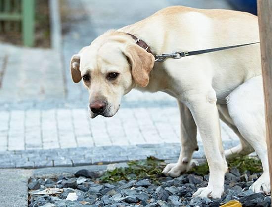 Белый кал у собаки