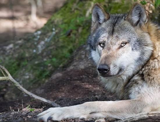 Породы собак, похожие на волка