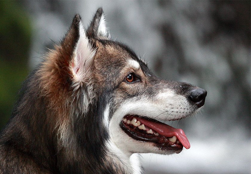 Собака породы утонаган