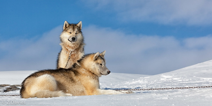 Собаки породы гренландсхунд