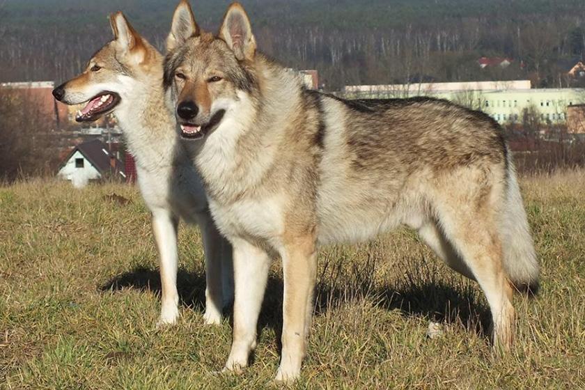 Чешский влчак