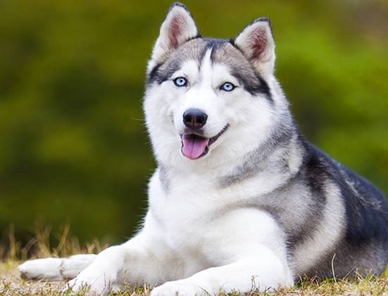 Собаки, похожие на хаски