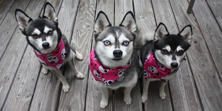Собаки породы кли-кай