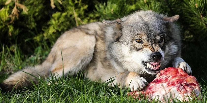 Волк ест