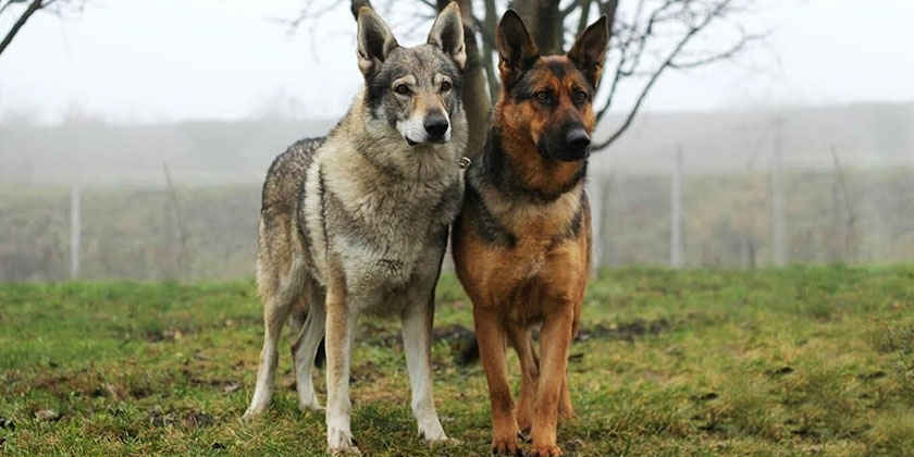 Кто сильнее - волк или собака