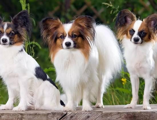 Собаки породы папильон