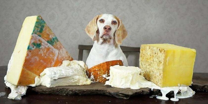 Можно ли сыр собакам