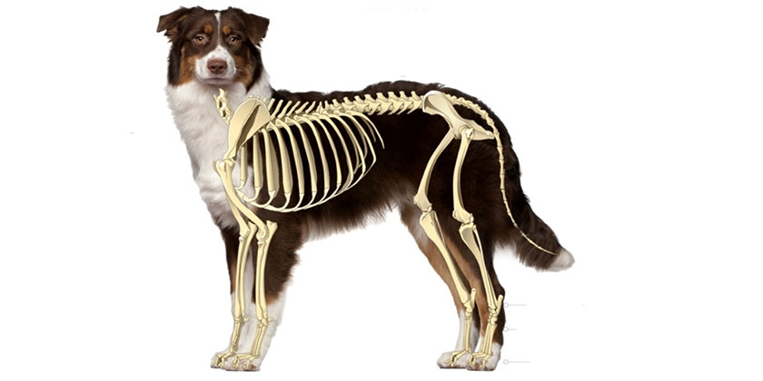 Скелет собаки