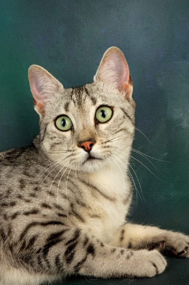 Египетская мау – кошка фараонов