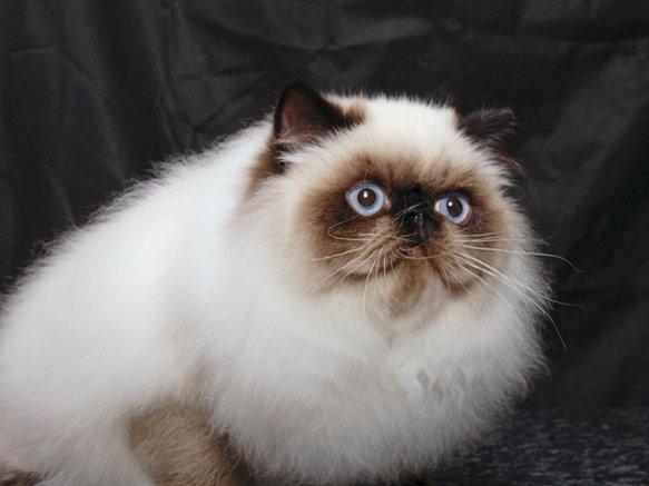 Роскошная персидская шубка и чудесный сиамский окрас это гималайский кот