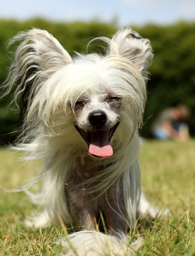 Китайская хохлатая собака картинки