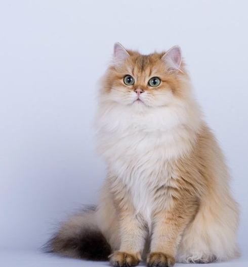 Британская длинношерстная кошка – фото, описание длинношерстного британца и характеристика породы