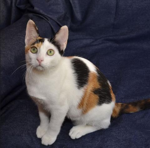 Порода кошек турецкая