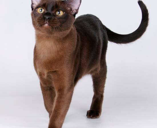 Бурманская кошка - бурма