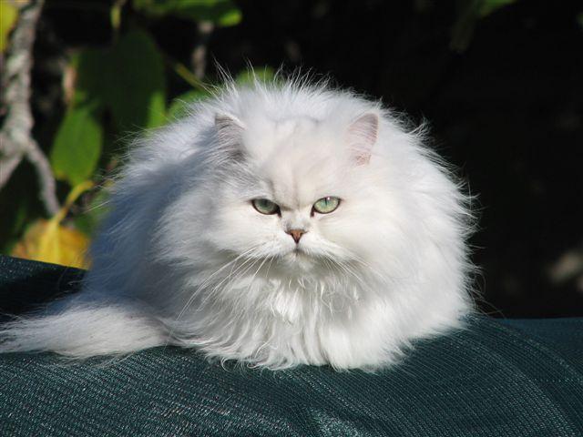 Золотая шиншилла кошка. Описание, уход и цена породы золотая шиншилла