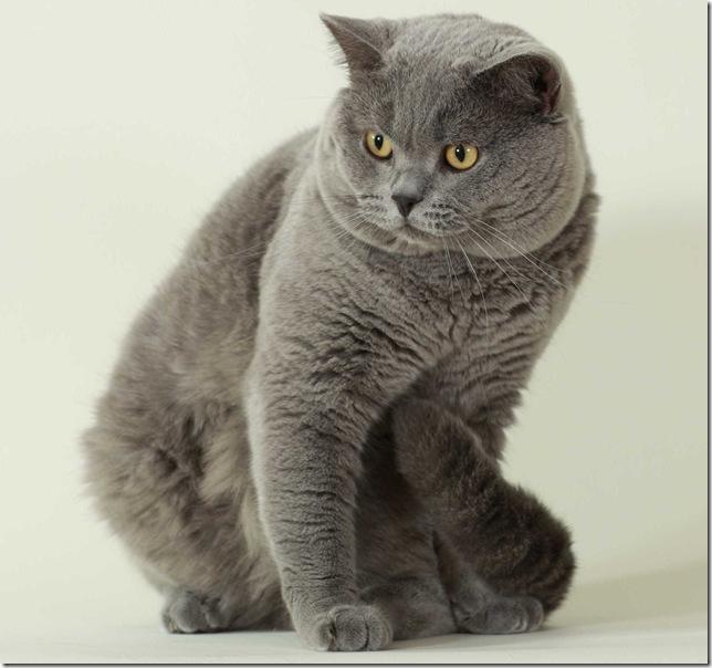 Кошки породы британец основные сведения