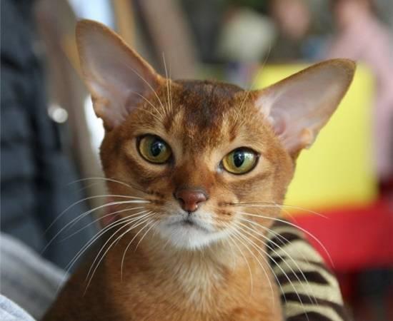 морда абиссинской кошки на фото