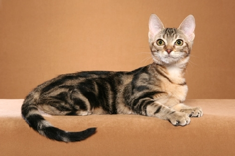 Кошка породы Сококе или Африканская короткошерстная (в древности Хадзонзо)