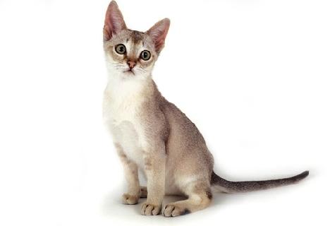Сингапурская кошка кто она