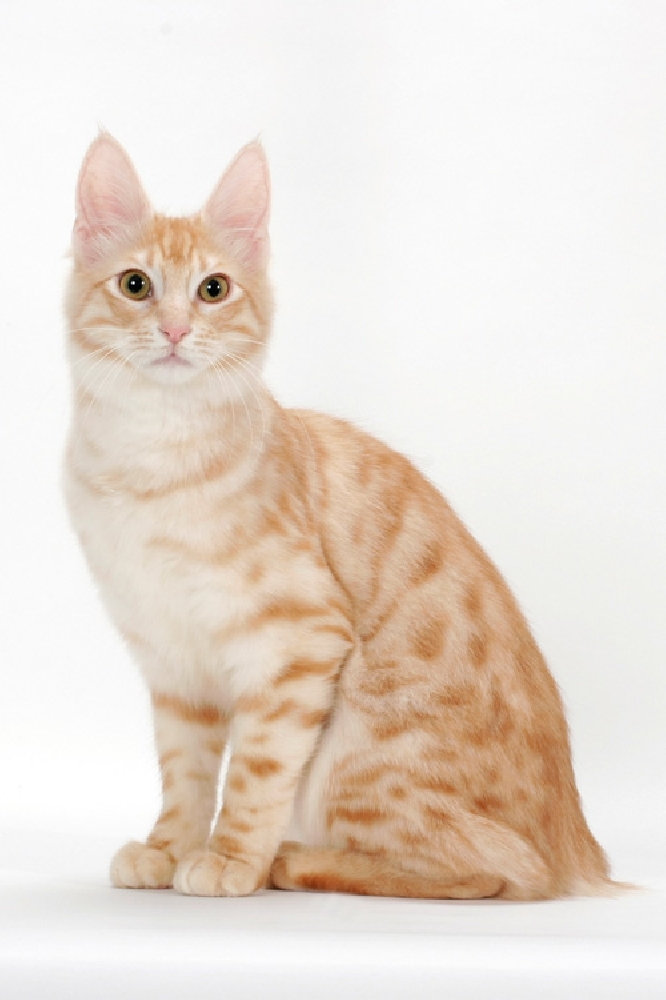 Турецкая ангора кошка: описание, характер, фото, цена, содержание