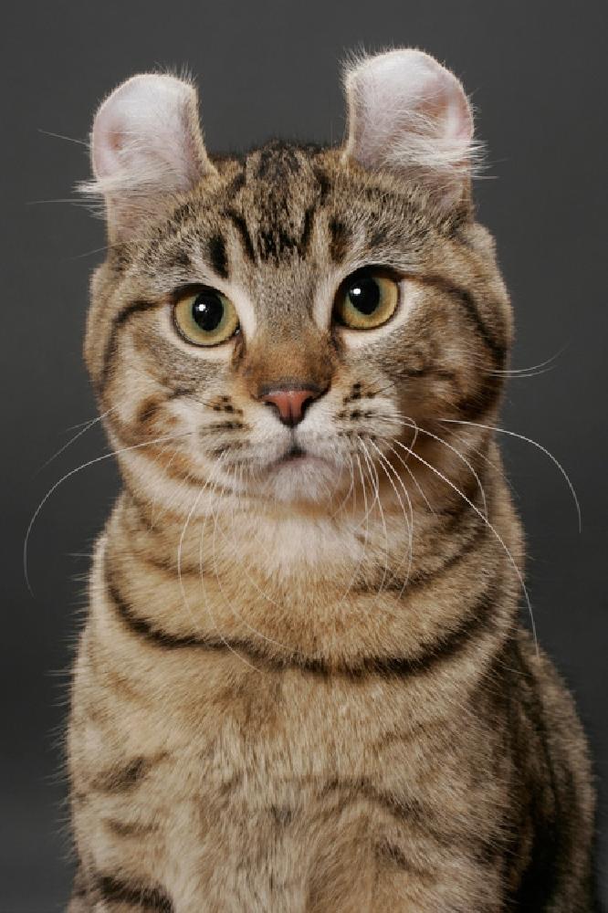 Американский керл характер кошки