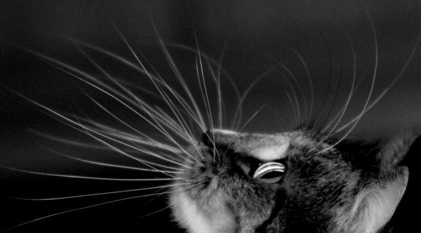 Как называются усы у кошек