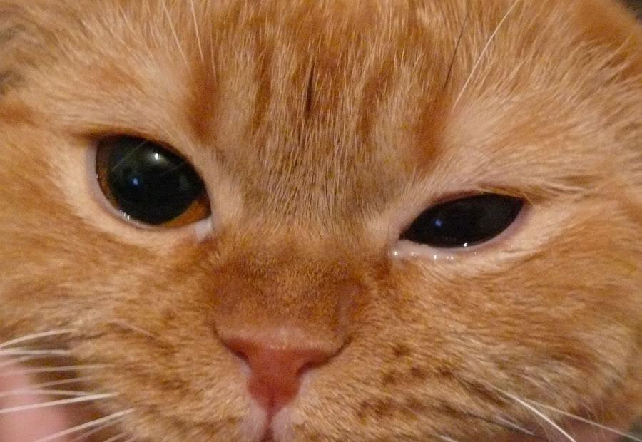 Воспаленный глаз у кошки- что делать