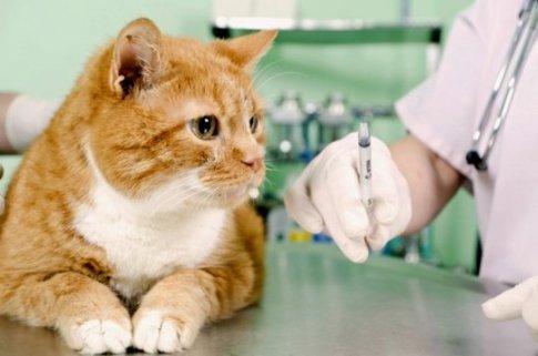 Как поставить правильно укол кошке
