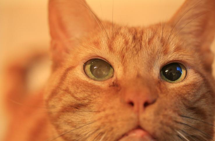 Выпученные глаза у котов