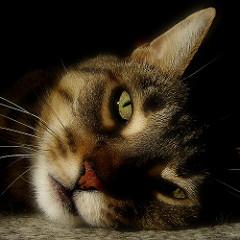 Болеют ли кошки гриппом Причины кошачьего гриппа