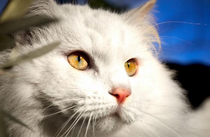 Кальцивироз у кошек 🐈 Симптомы и лечение вируса