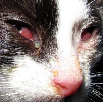 микоплазмоз у кошки
