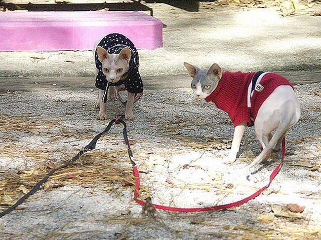 как выгуливать кошку
