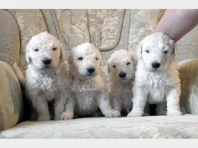Продаются щенки комондора (венгерская овчарка) от родителей-чемпионов, проверенных по потомству