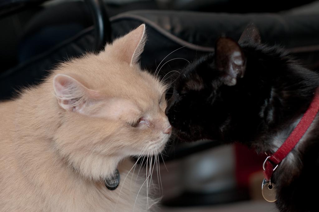 Знакомство кота и кошки