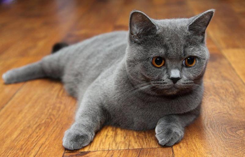 скоттиш страйт шотландская прямоухая кошка фото