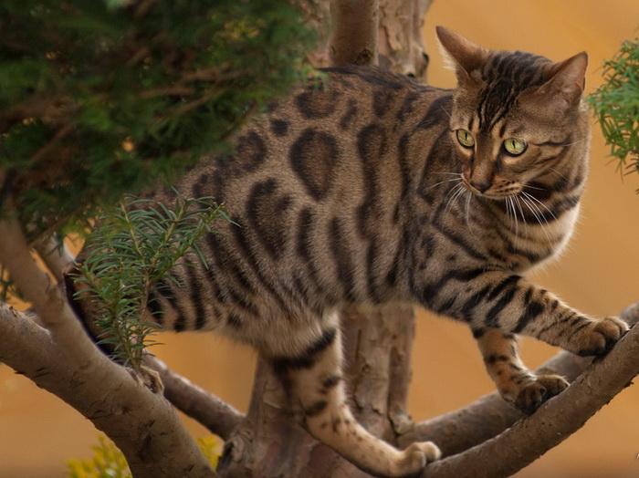 бенгал на дереве
