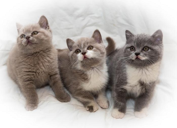 котята британской короткошерстной кошки