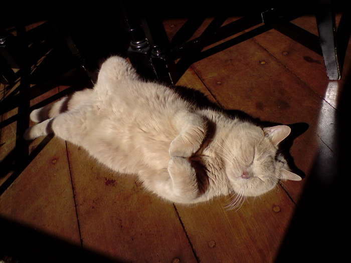 британец кот спит
