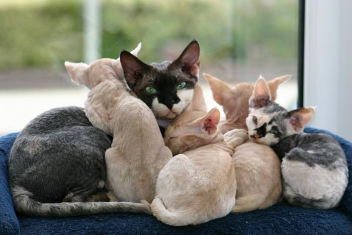 девон рекс с котятами
