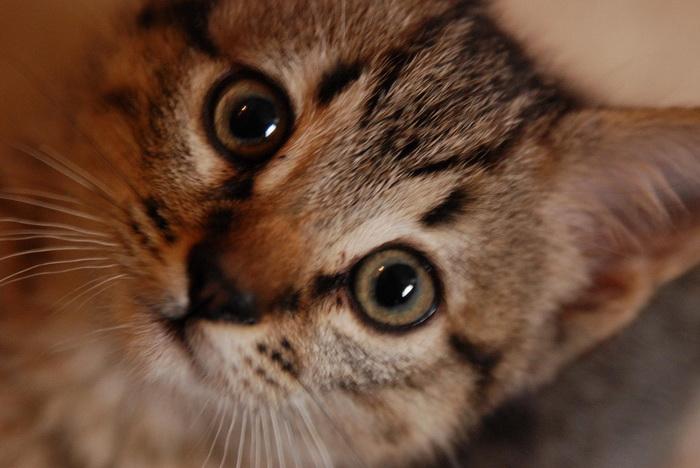 калифорнийский сияющий котенок