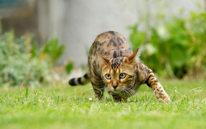 бенгальская кошка на охоте