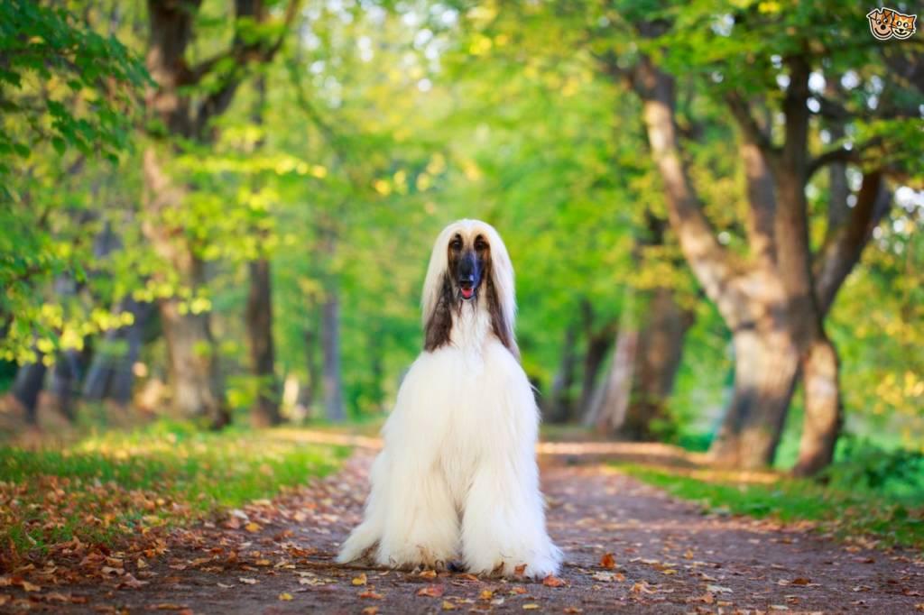 белая афганская борзая собака